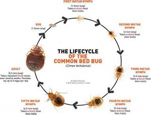 How Do Bed Bugs Reproduce What Will Kill Bed Bugs And Eggs Doctor Answers On Healthtap