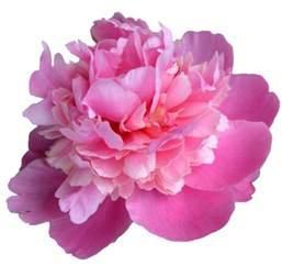 Real Black Roses Transparent Pink Peony