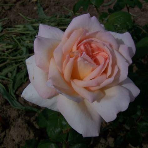bett rosa buy rosa betty s smile by post from r v roger ltd