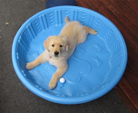 swimming puppies golden retriever puppies swimming 17 desktop wallpaper dogbreedswallpapers