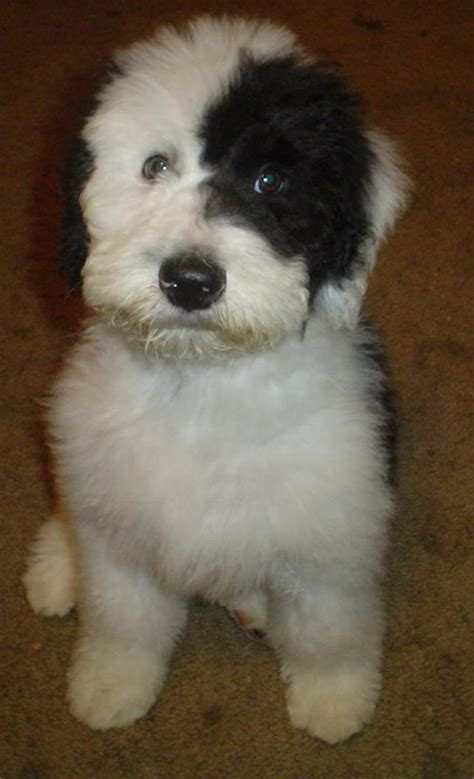 shepadoodle puppies sheepadoodle sheepadoodle puppy breeds picture