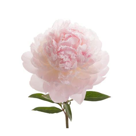 blush peonies peonies types of flowers flower muse