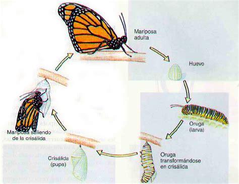 mariposa monarca y su ciclo mariposa monarca y su ciclo