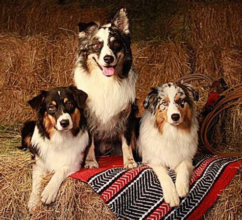 australian shepherd puppies oregon australian shepherd breeders oregon