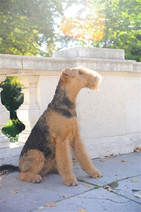 winter airedale haircut 447 best airedale terriers images on pinterest airedale