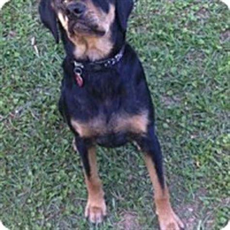 rottweiler rescue sc rottweiler beagle mix for adoption in columbia south carolina jasper