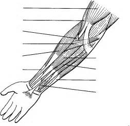 human muscles coloring human arm coloring page