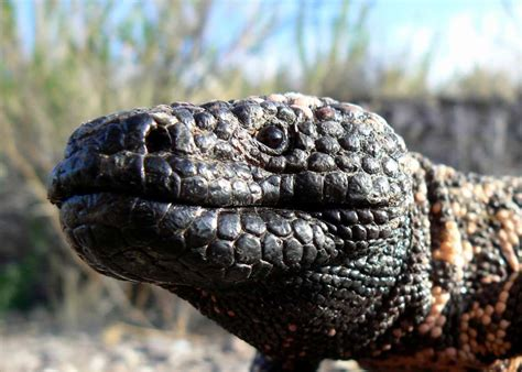 mexican beaded lizard facts encountering a gila or mexican beaded lizard