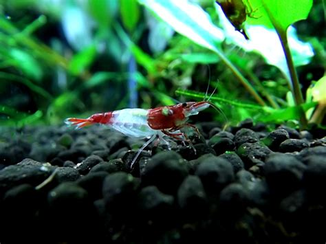 Udang Hias Aquascape Aura Blue Shrimp udang hias medan