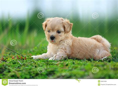 pic of puppies stock photo image of lovely cutes animal 26621836