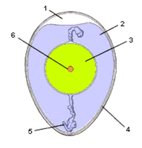 Beschriftung Ei by Entwicklung Des Eies Bei H 252 Hnern