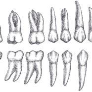 vagaina types los 4 tipos de dientes y su funci 243 n
