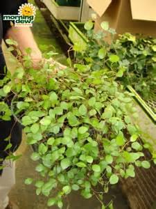 indoor vine plant captive creativity angel vine plant care