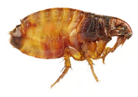 cat fleas vs fleas fleas pdf