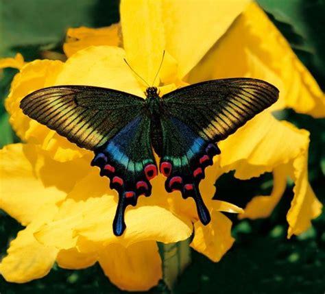 imagenes mariposas rosas reales jardin des papillons papillons exotiques vivants 224