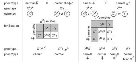 inheritance pattern of color blindness color blindness punnett square sex linkage wikipedia