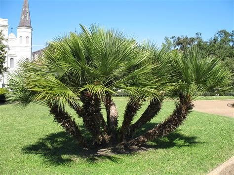 chamaerops humilis mediterranean fan palm plant guide chamaerops humilis mediterranean