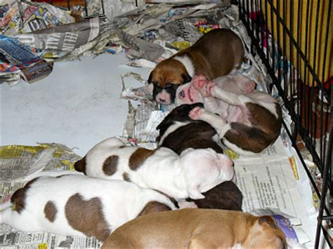 2 week pitbull puppies connected by petsphoto gallery gt member galleries gt 2 week pit bull puppies
