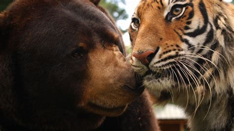 lions and tigers and nurses a nursing novella about lateral violence nursing novellas volume 1 books the tiger and family animal couples