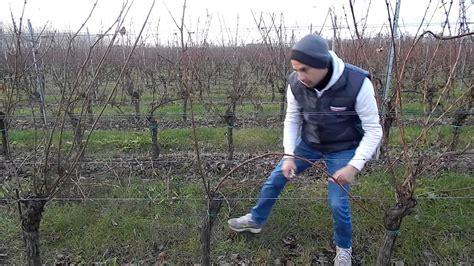potare uva da tavola vigna fiorita potatura vite doppio capovolto