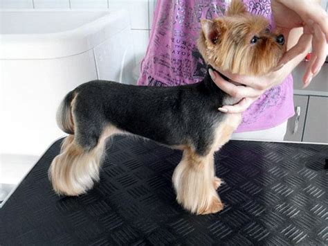 grooming styles for yorkies best 25 terrier haircut ideas on