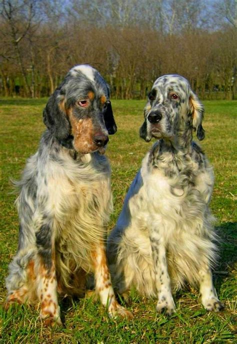 english setter apartment dog 179 best images about llewellin setters on pinterest