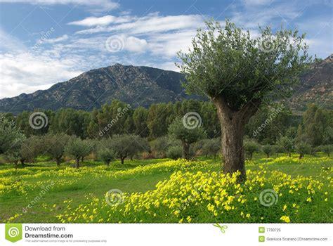 ci fioriti ci fioriti dell olivo e montagne fotografia stock