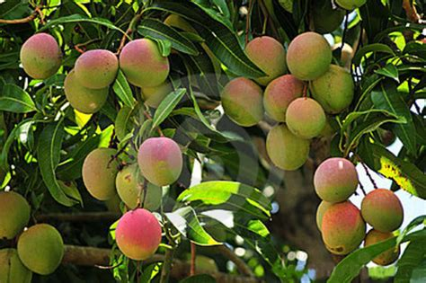 mango tree with fruits wallpaper mango quot gift of nature quot