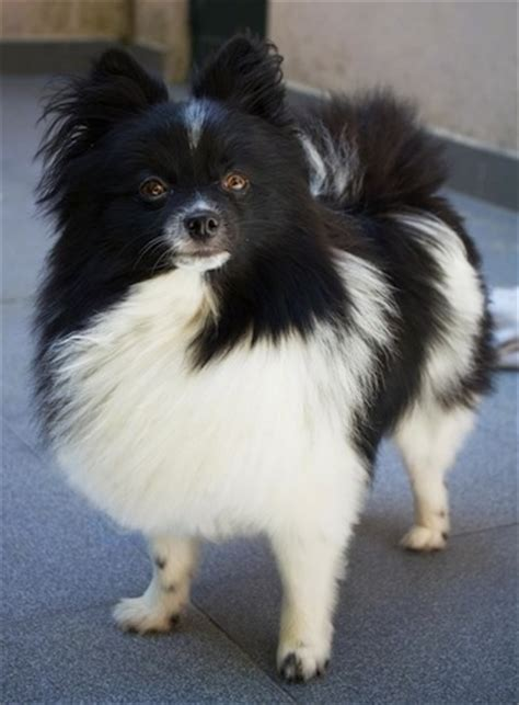 pomeranian black and white pomeranian breed information and pictures