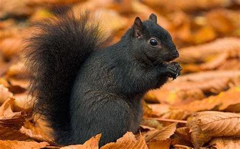 Origins Of British Black Squirrel Discovered Telegraph Black Squirrel