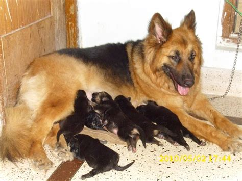 german shepherd puppies price german shepherd puppies and prices dogs our friends photo