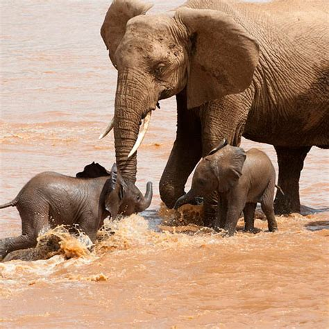 african elephant facts african elephant facts elephants for africa