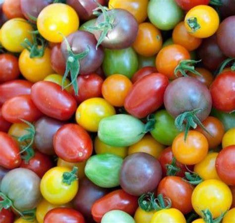 Bibit Cabe Rainbow bibit tomat rainbow tomat pelangi