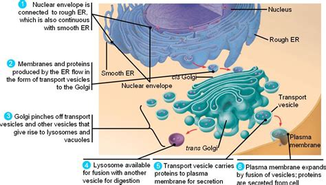 An ancient prokaryote developed an endomembrane system by infolding of