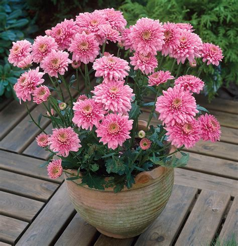 chrysanthemum tea effect for health typesofflower com
