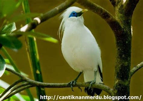 Jalak Bali Asli Sertifikat Bksda by Budidaya Burung Burung Jalak Bali Yang Eksotis Dan Langka