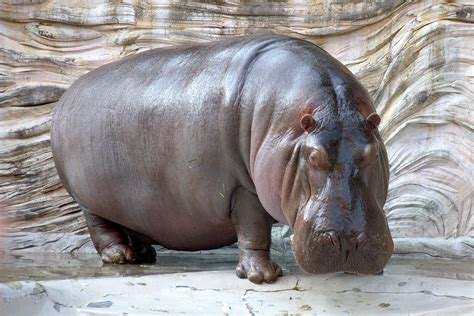 what color are hippos file hippopotamus 04 jpg wikimedia commons