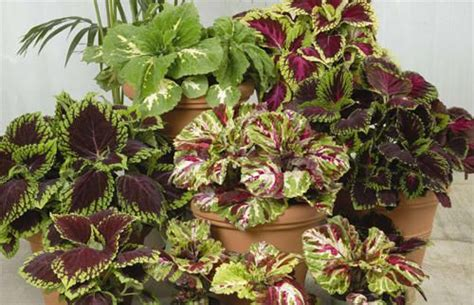 q a colorful potted plants for shade