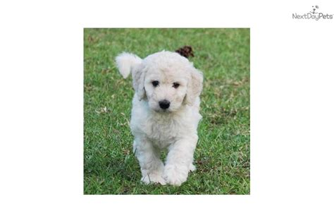 meet cotton puff a labradoodle puppy for sale for