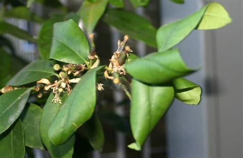 foglie gialle limone vaso limone sul terrazzo foglie accartocciate domande e
