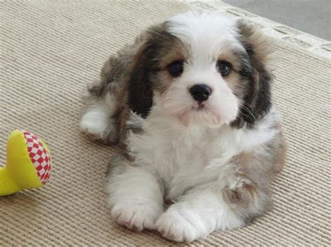 cavachon puppies price cavachon puppy and they called it puppy