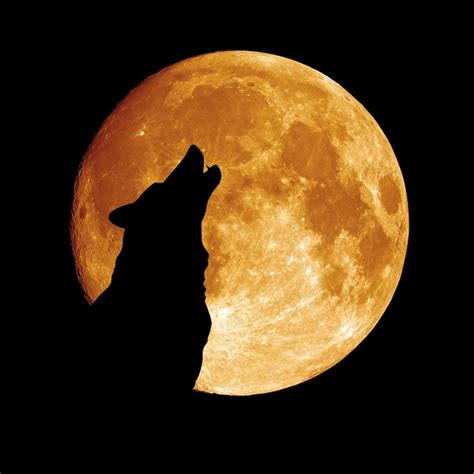 dogs howling why do dogs howl why dogs howl