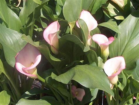 online plant guide zantedeschia aethiopica calla lily