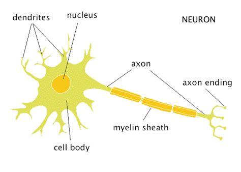 neuron diagram and functions the neuron