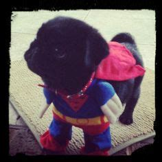 pug in superman costume 1000 images about pugs on pug meme pug and costumes