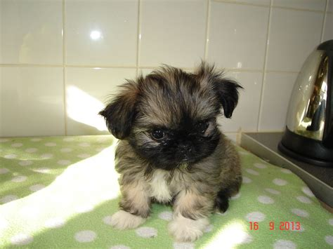 teacup shih tzu puppies for sale in nj teacup pugs adoption breeds picture