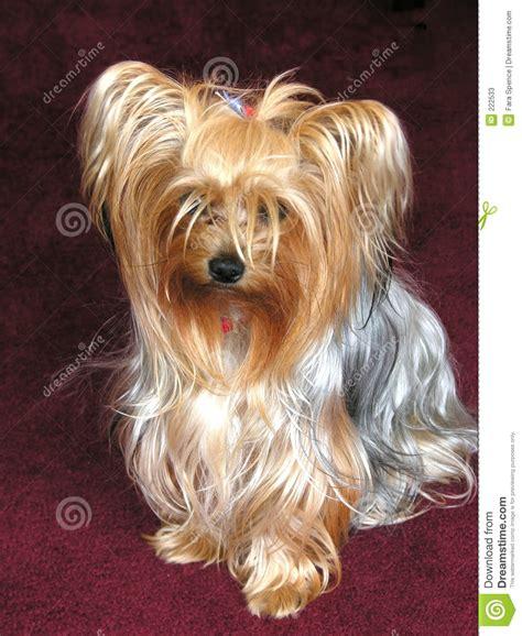 perro yorkie precio perro de yorkie fotos de archivo imagen 222533