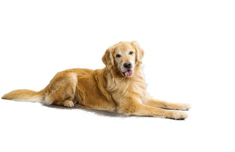 is a golden retriever a golden retriever puppies for adoption bazar