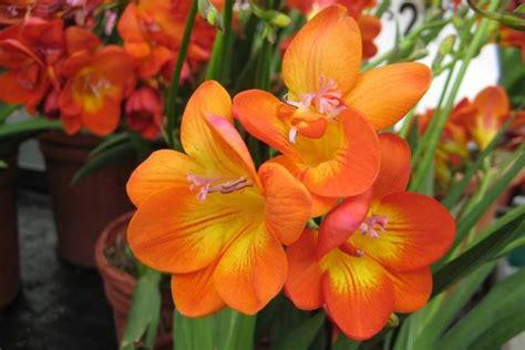 fresia fiore freesia bulbi freesia giardino