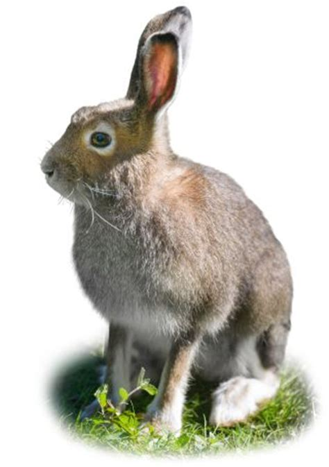 rabbit facts  kids hare facts dk find